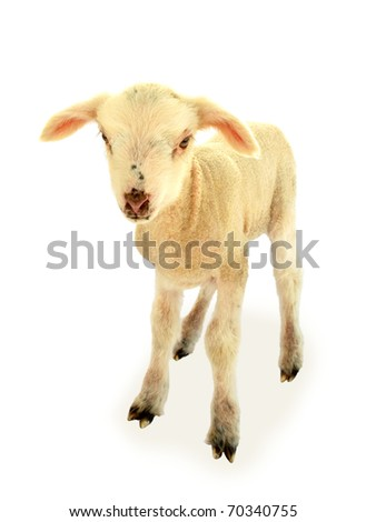 Lamb baby sheep - stock photo