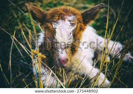 Lamb laying in the grass - stock photo