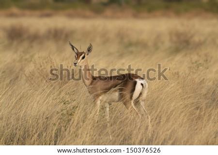 Lamb of a Grant�´s gazelle - stock photo