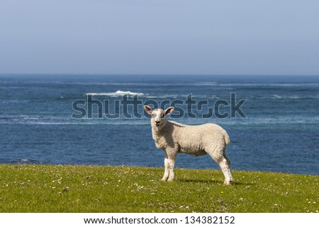 Lamb on the meadow with sea in background - stock photo