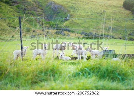 Lamb or Young Sheeps in Moke Lake near Queenstown New Zealand. - stock photo