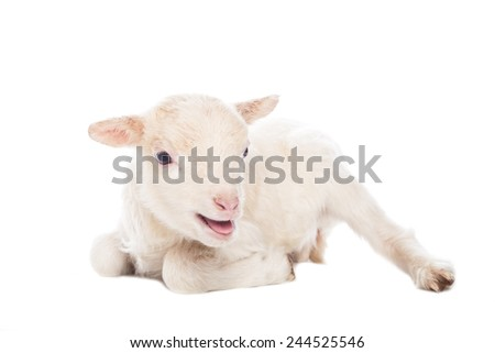Lamb sitting in front of a white background - stock photo