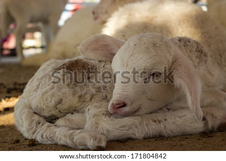 Lamb sleeping in the stables - stock photo
