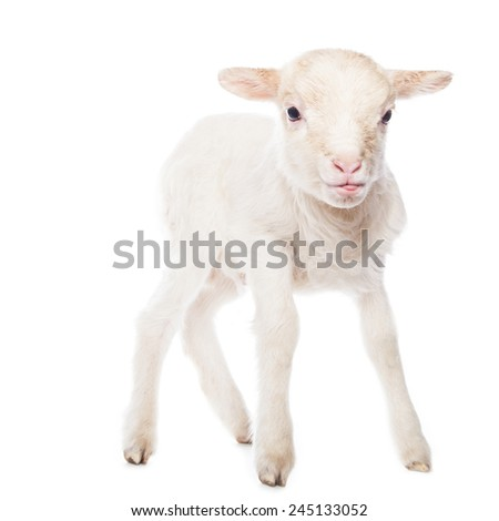 Lamb standing in front of a white background - stock photo
