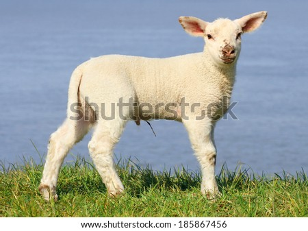Lamb standing on seawall - stock photo