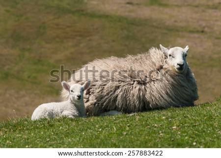 lamb with ewe resting on grass - stock photo