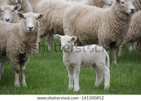 Lamb With Flock Looking On