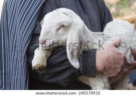 lamb with shepherd - stock photo