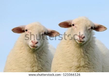 Lambs - stock photo
