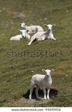 lambs on hill side - stock photo