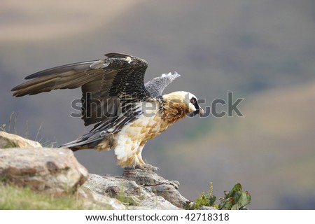 Lammergeyer or Bearded Vulture (Gypaetus barbatus) sitting on rocks in South Africa