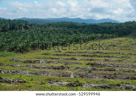 Land clearing for oil palm replanting program