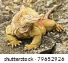 Land Iguana (Conolophus Subcristatus) - stock photo