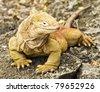Land Iguana (Conolophus Subcristatus) - stock photo