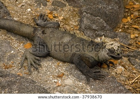 Land iguana laying on the rocks in the Galapagos Islands