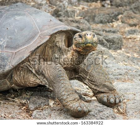 Land tortoise  at the Charles Darwin Research Station  on Santa Cruz Island, Galapagos, Ecuador.  Very long neck  - stock photo