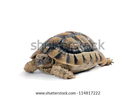 land Turtle isolated on white background testudo hermanni, (Herman's Tortoise) - stock photo