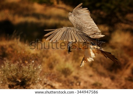 Landing adult bearded vulture in full orange color plumage over dry grass in the Spanish Pyrenees  - stock photo