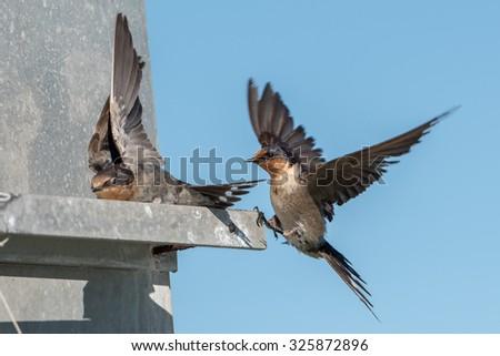 landing swallow swift on the deep blue cloudy sky - stock photo