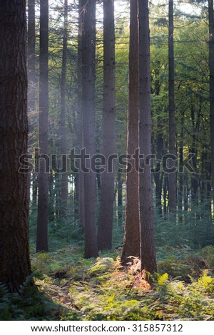 landscape forest with pine trees and sunbeam - stock photo