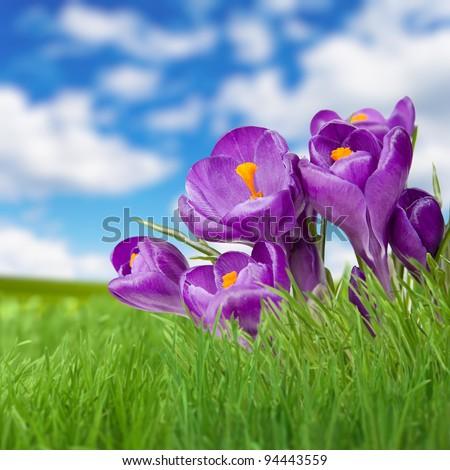 Landscape grass sky and violet flower. Crocus - stock photo