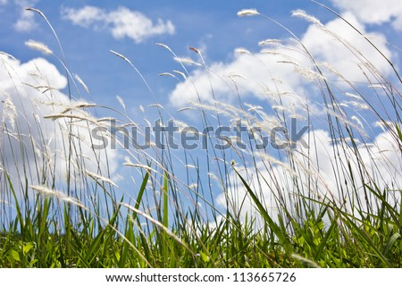 landscape meadow, white reeds field. Blue sky - stock photo
