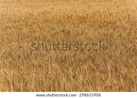 Landscape of a large golden wheat field. - stock photo