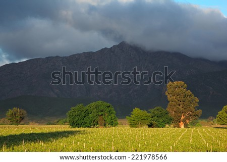 Landscape of a lush vineyard with trees against a backdrop of mountains, Western Cape, South Africa - stock photo