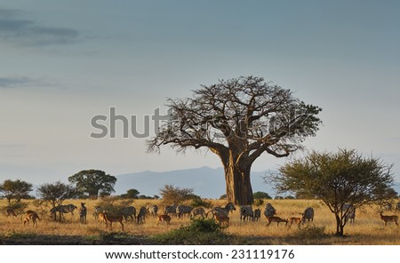Landscape of an african park with baobab, zebras and impala - stock photo