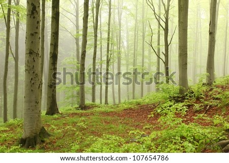 Landscape of beech forest on a foggy spring morning. - stock photo