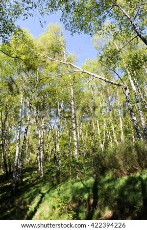 Landscape of birch trees at Gola di Lago over Lugano on the italian part of Switzerland - stock photo