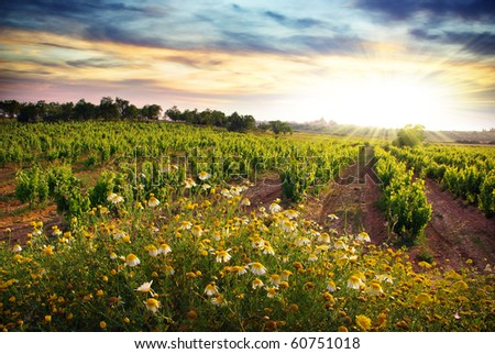 Landscape of countryside with a vineyard and flowers at sunset - stock photo