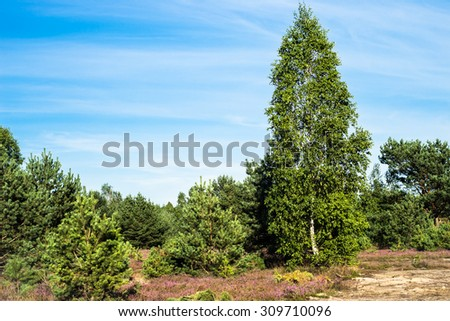 Landscape of field of heather in the forest. Birch tree and pine tree forest. - stock photo
