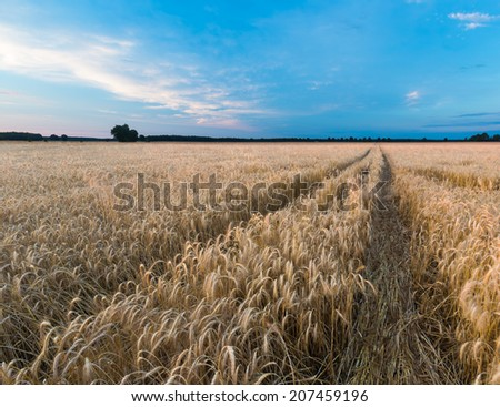 landscape of grain field at sunset