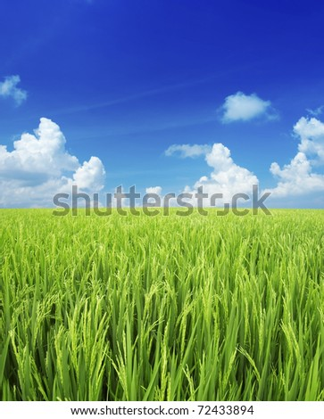 Landscape of rice field with blue sky - stock photo