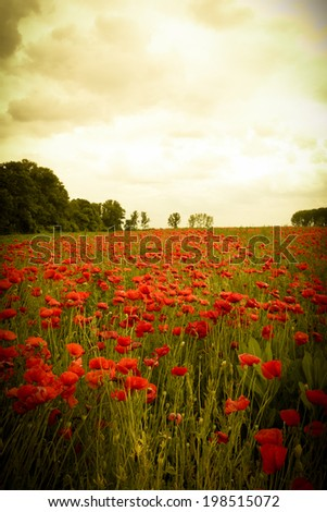 Landscape of romantic poppy field with red wildflowers illuminated on sunset - stock photo