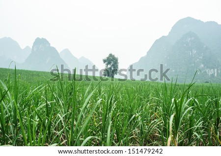 Landscape of sugar cane field in China - stock photo