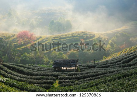 Landscape of Tea Field with fog in morning at Chiangmai Thailand. - stock photo