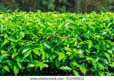 Landscape of tea Plantations, Cameron highlands, Malaysia - stock photo