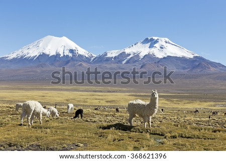 Landscape of the Andes Mountains, with snow-covered volcano in the background, and a group of llamas grazing in the highlands.