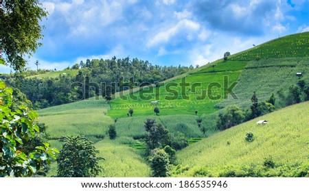 Landscape of the lined Green terraced  corn field on the mountain with blue sky