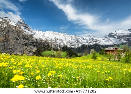 Landscape of yellow flower fields and famous stunning high cliffs in Switzerland.