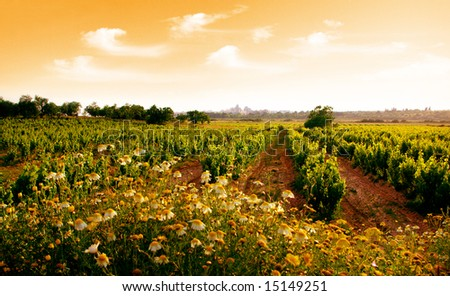 Landscape photo of a vineyard in sunset
