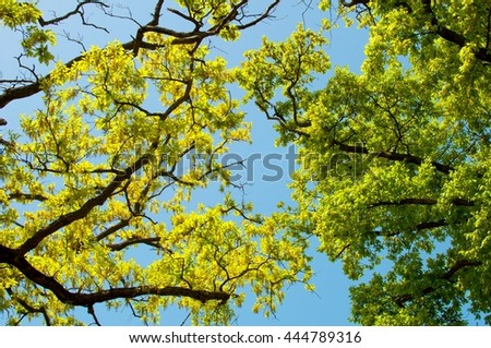 Landscape, Spring Oak Branches, Leaves and Blue Sky - stock photo