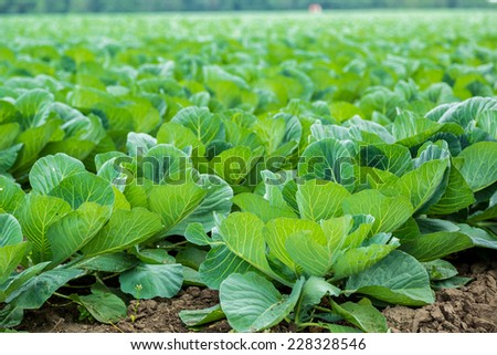 Landscape view of a freshly growing cabbage field. - stock photo