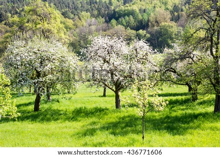 Landscape with a meadow and flowering fruit trees - stock photo