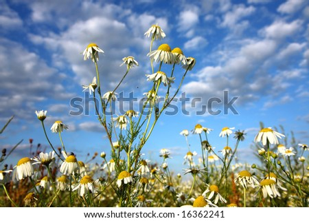 landscape with chamomile blossoms - stock photo