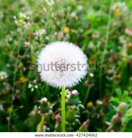 Landscape with dandelion meadow. - stock photo