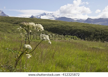 Landscape with famous angelica - plant native to temperate and subarctic regions such as Iceland. - stock photo