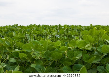 Landscape with field of young soybean plants and blue sky